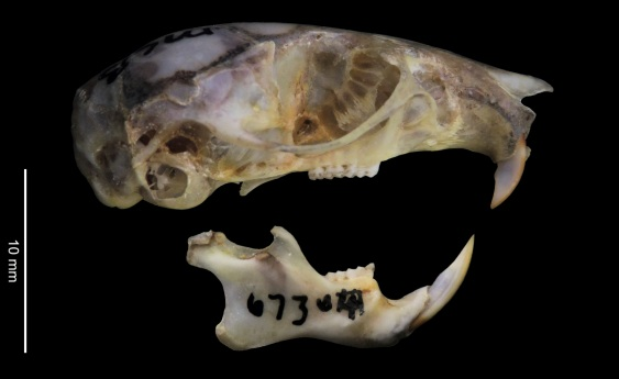 pachecoi skull